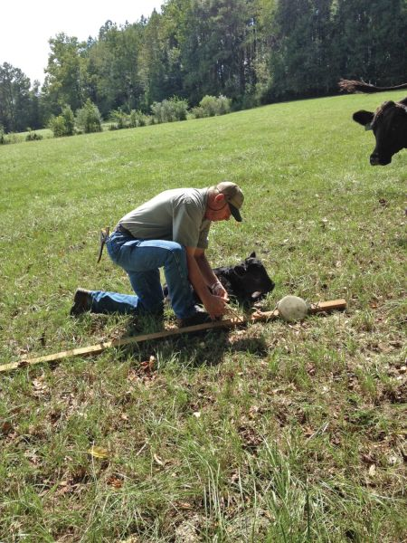 Simmental, people working cattle