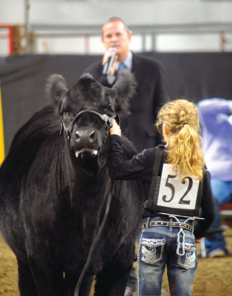 Simmental, show ring